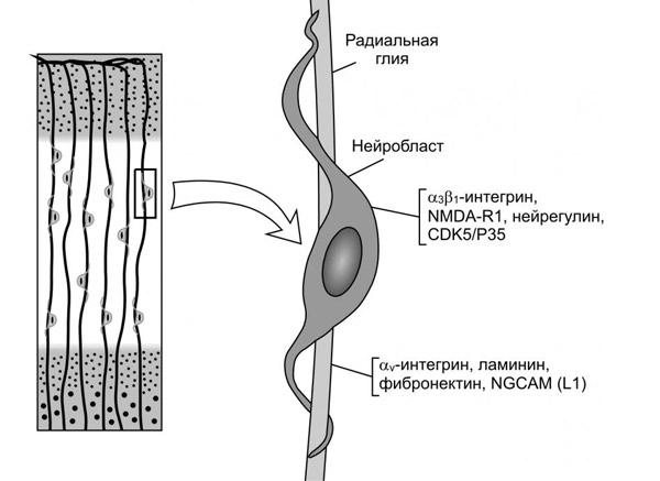 строение нейробласта