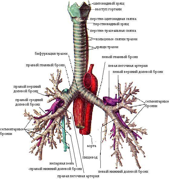 Рак бронхов и трахеи: симптомы, лечение, стадии